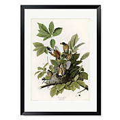 Framed Art Print American Robin by Vintage Apple Collection